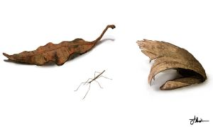 Bank Leaf and stick insect by Vorseth