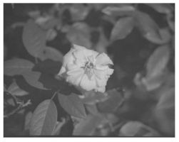 From my mother's rose bush by thewildchild