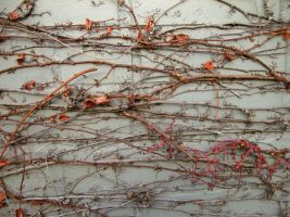 Wall and Vine by stillwater--stock