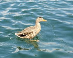 Duck in Lake Arrowhead, California by Konimotsinui