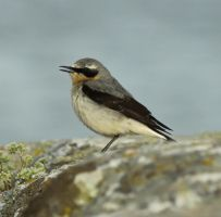 Wheatear by MJFOTO