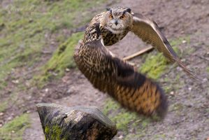 Eurasian Eagle Owl by OliverBPhotography