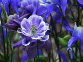 Aquilegia by JanuaryGuest