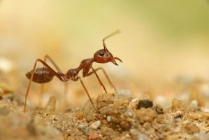 Weaver ant by melvynyeo