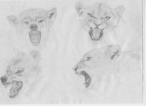 Wolf and Lioness head sketches. by Undertaletrasha