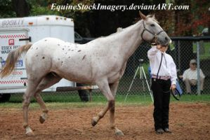 Appaloosa 27 by EquineStockImagery