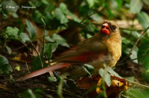 Northern Cardinal by TheLittleMaja
