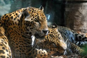 Two jaguars in love by NB-PhotoArt
