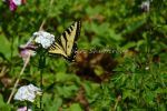 Pale Tiger Swallowtail II by Scooby777