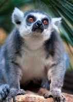 Ringtail Red Eyes by DeniseSoden