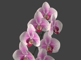 Phalaenopsis by xaotherion