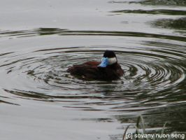 The Blue-Billed Duck by pyraLyte