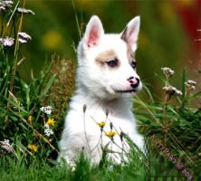 Lovely puppy by EmiliaLingvald
