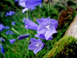 Harebells by PomPrint