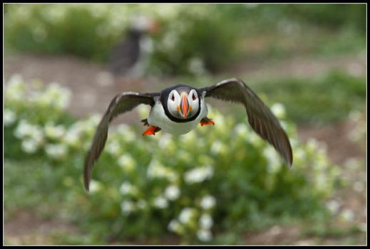 Kamikaze Puffin by nitsch