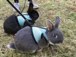 Rabbits on leashes by What-is-that0-o