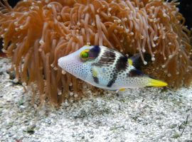 Valentini Puffer Fish by SGreavesPhotography