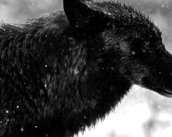 modded yellowstone wolf by neaters2000