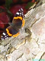 red admiral by IamNasher