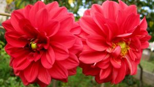 Red Dahlia by Andrei-Azanfirei