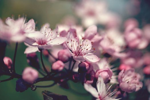 cherry blossoms 2 by 30-noir