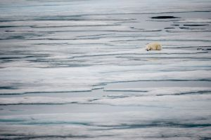Sleeping Polar Bear, Svalbard by RebeccaYale