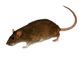 Png  Rat 2 by Moonglowlilly