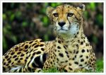 cheetah88 by photoflacky