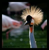 grey crowned crane by morho