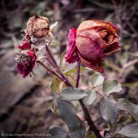 Fading Roses by DrAndrei