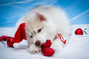 Siberian Christmas Husky by *DeingeL-Dog-Stock
