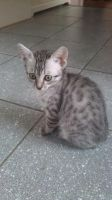Egyptian mau: Cavador by CatOnator