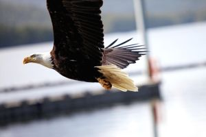 Bald Eagle in Flight by basseca