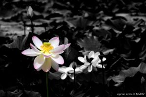 Lotus by ciprinel