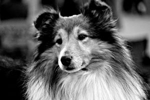 Sheltie by NinjaxWarrior