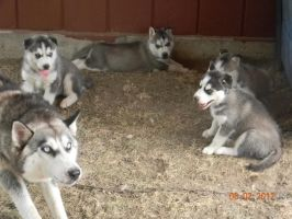 Syberian Huskies by bunnell3h
