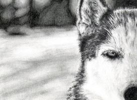 Eye Of The Husky - Sketch Card by H-Heather