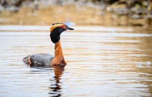 Horned Grebe - Spring Arrival by JestePhotography