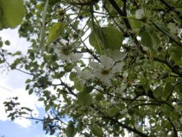 Pear Blossom by coolsarahkry