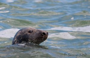Seal by Slinky-2012