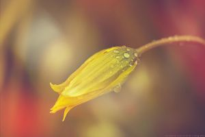 tulip with light leak by CliffWFotografie