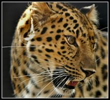 Leopard by jimbomp44