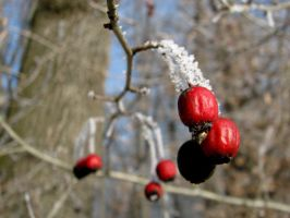 Red impertinence in winter by sparkica