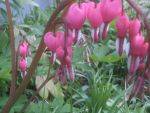 more bleeding hearts by BlueIvyViolet