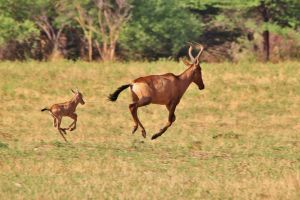 Red Hartebeest Antelope - Calving Season in Africa by LivingWild