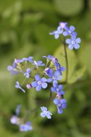 Forget me not.. by Dodephine