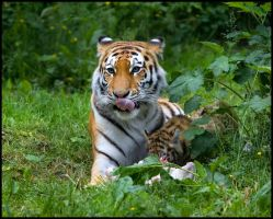 Siberian Tiger 3 by Wolfy2k4