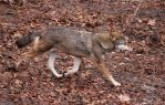 Red Wolf Stock 51 by HOTNStock