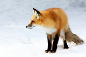 Fluffy Fox by Sagittor