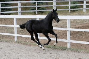 Black Warmblood Colt 010 by Notorious-Stock
